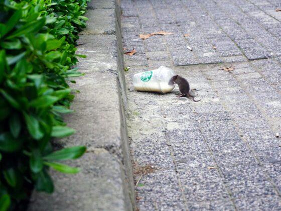 Deratyzacja szczurów - co powinien wiedzieć właściciel nieruchomości? 8