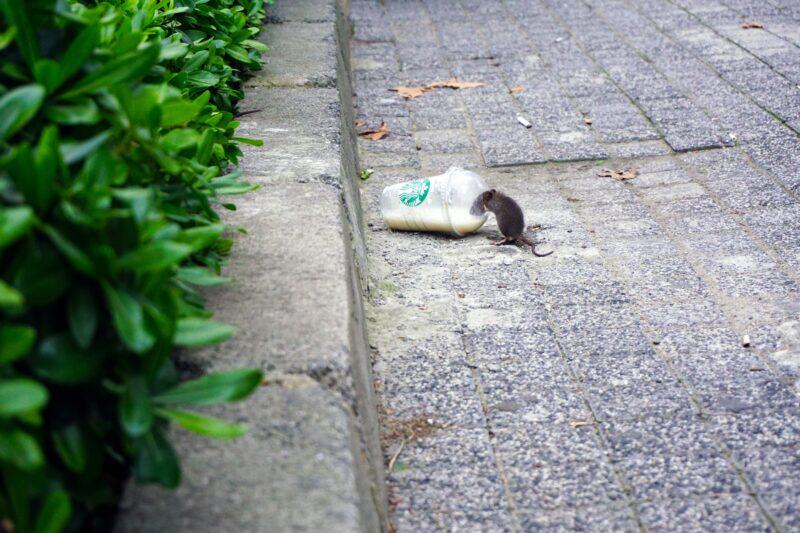 Deratyzacja szczurów - co powinien wiedzieć właściciel nieruchomości? 1