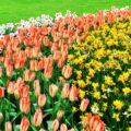 Co warto wiedzieć na temat sadzenia kwiatów cebulowych? 17