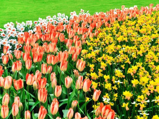 Co warto wiedzieć na temat sadzenia kwiatów cebulowych? 4