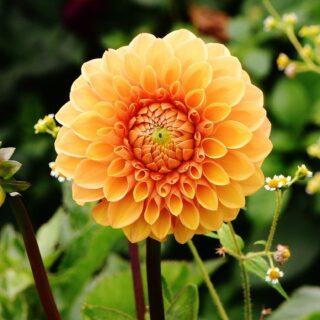 Dalie ogrodowe - efektowne byliny kwiatowe 11
