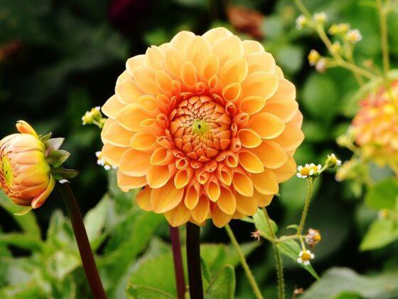 Dalie ogrodowe - efektowne byliny kwiatowe 6