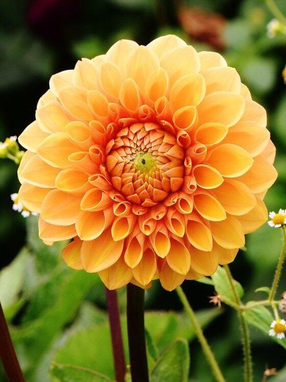 Dalie ogrodowe - efektowne byliny kwiatowe 15