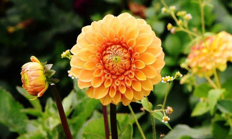 Dalie ogrodowe - efektowne byliny kwiatowe 1