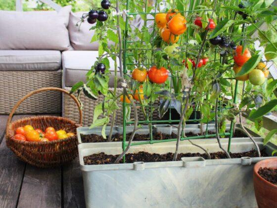 uprawa roślin na balkonie
